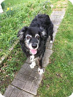 Australian Shepherd Dog for adoption in Sharon Center, Ohio - Fozzie PENDING