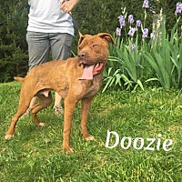 Adopt A Pet :: Doozie - Fayetteville, WV