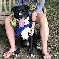 Border Collie/Labrador Retriever Mix Dog for adoption in Nashville, Tennessee - Charlie