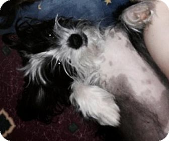 Chinese Crested Dog for adoption in Hamilton, Ontario - Ponyo