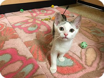 Domestic Shorthair Kitten for adoption in Foothill Ranch, California - Ringo