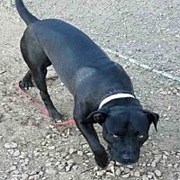 American Pit Bull Terrier Mix Dog for adoption in Mesa, Arizona - SMOKEY
