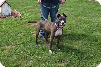 Pit Bull Terrier Mix Dog for adoption in North Judson, Indiana - Violet