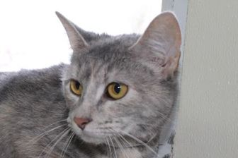 Domestic Shorthair/Domestic Shorthair Mix Cat for adoption in Robinson, Illinois - Rosie