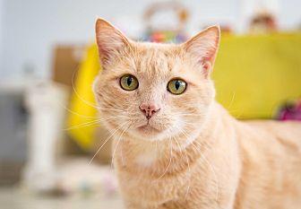 Domestic Shorthair Cat for adoption in Stafford, Virginia - Gimli