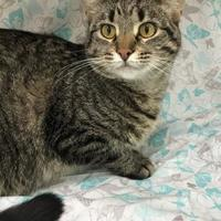 Domestic Shorthair/Domestic Shorthair Mix Cat for adoption in Menominee, Michigan - Gemma