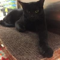 Domestic Shorthair/Domestic Shorthair Mix Cat for adoption in Lynchburg, Virginia - Maxine