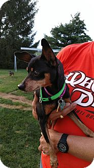 Miniature Pinscher Dog for adoption in Holland, Ohio - Prince