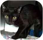 Domestic Shorthair Kitten for adoption in Beacon, New York - Juliet