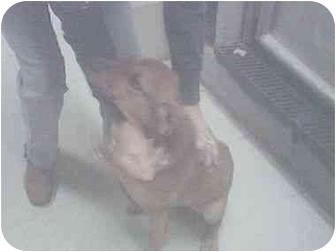 Hound (Unknown Type) Mix Puppy for adoption in Higginsville, Missouri - unknown