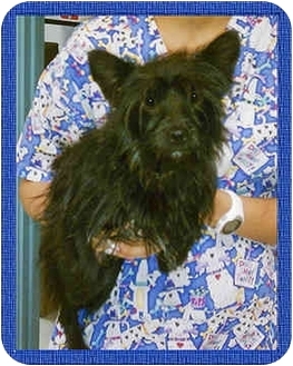 Yorkie, Yorkshire Terrier/Schipperke Mix Dog for adoption in North Palm Beach, Florida - DUFFY