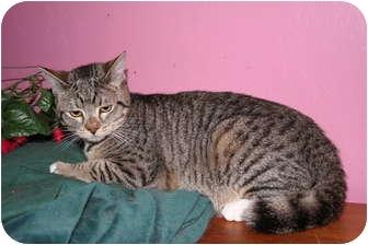 Domestic Shorthair Cat for adoption in Santa Rosa, California - Samantha