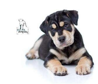 Rottweiler/Mastiff Mix Puppy for adoption in Rochester, New York - Tige