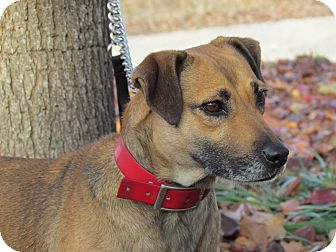 Mountain Cur/Feist Mix Dog for adoption in Bedminster, New Jersey - GINGER