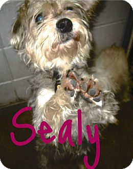 Yorkie, Yorkshire Terrier/Terrier (Unknown Type, Small) Mix Dog for adoption in Beaumont, Texas - Sealy