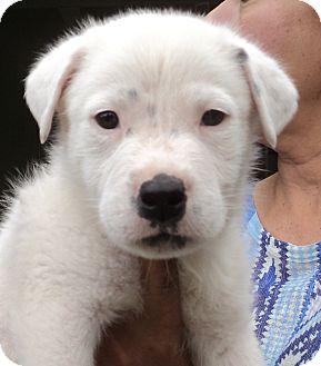 Labrador Retriever/Husky Mix Puppy for adoption in Studio City, California - Bear