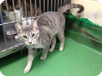 Domestic Shorthair Cat for adoption in South Haven, Michigan - Tigger