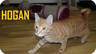 Domestic Shorthair Cat for adoption in Franklin, North Carolina - HOGAN