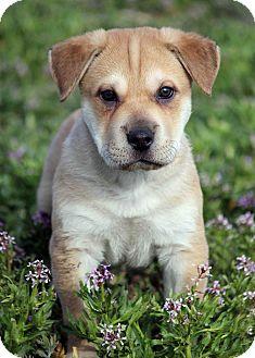 Shar Pei/Labrador Retriever Mix Puppy for adoption in Westminster, Colorado - Luciano