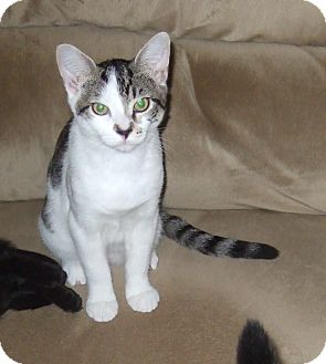 Domestic Shorthair Cat for adoption in Tillamook, Oregon - Me Matey