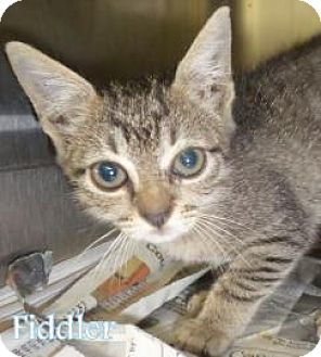 Domestic Shorthair Kitten for adoption in Georgetown, South Carolina - fiddler