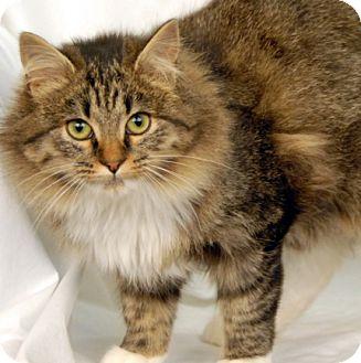Domestic Longhair Cat for adoption in Newland, North Carolina - Savannah
