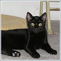 Domestic Shorthair Cat for adoption in Midway City, California - Moby