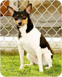 Rat Terrier Dog for adoption in Marina del Rey, California - Bentley