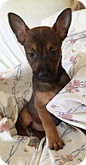 Belgian Malinois Mix Puppy for adoption in Littleton, Colorado - VEENA PUP - LINA