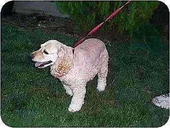 Cocker Spaniel Dog for adoption in Downey, California - Heidi