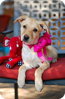 Labrador Retriever/Retriever (Unknown Type) Mix Puppy for adoption in Baton Rouge, Louisiana - Buttercup