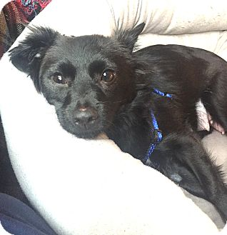 Terrier (Unknown Type, Small)/Chihuahua Mix Dog for adoption in Los Angeles, California - Amelia