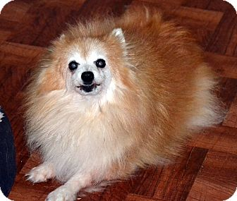 Pomeranian Dog for adoption in Melrose, Florida - Shelly