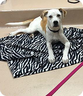 Pointer Mix Dog for adoption in Battle Creek, Michigan - Buck