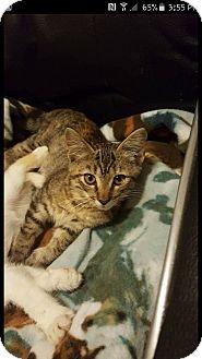 Domestic Shorthair Kitten for adoption in Hastings, Florida - Dory