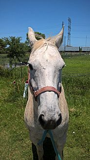 Quarterhorse Mix for adoption in Hitchcock, Texas - Scoot