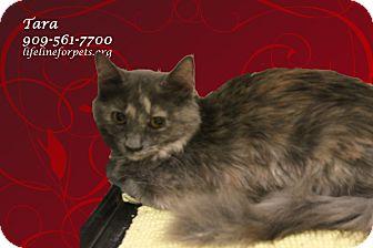 Domestic Mediumhair Kitten for adoption in Monrovia, California - A Sister Pair: TARA & Scarlet