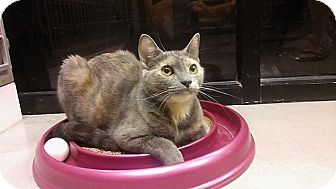 Domestic Shorthair Cat for adoption in Tampa, Florida - Abby