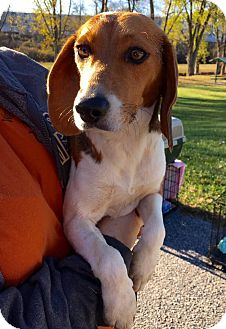 Beagle Mix Dog for adoption in WESTMINSTER, Maryland - Lacy