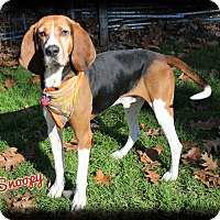 Treeing Walker Coonhound Dog for adoption in Shippenville, Pennsylvania - Snoopy