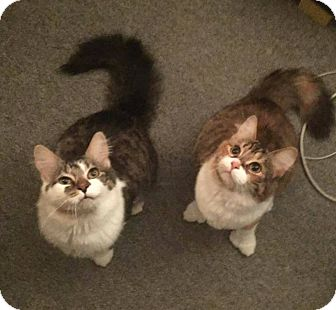 Domestic Mediumhair Cat for adoption in THORNHILL, Ontario - Icicle