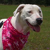 American Bulldog/Dalmatian Mix Dog for adoption in Nashville, Georgia - Cheyenne