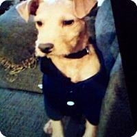Adopt A Pet :: Rudy, a handsome little dude - Corona, CA