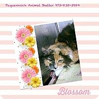 Adopt A Pet :: Blossom - Pompton Plains, NJ