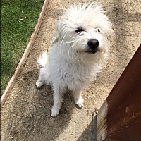 Cairn Terrier/Norfolk Terrier Mix Dog for adoption in Palm Desert, California - Dylan