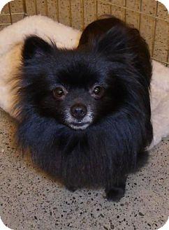 Pomeranian Dog for adoption in Tacoma, Washington - Bruno