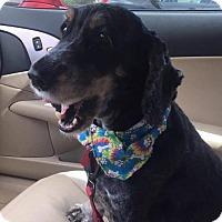 Cocker Spaniel Dog for adoption in Cape Coral, Florida - Sandy