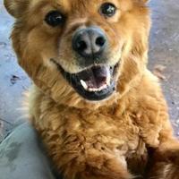 Adopt A Pet :: Bear - Eagle River, WI