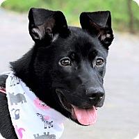 Labrador Retriever/Kai Dog Mix Puppy for adoption in San Mateo, California - Olga
