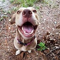 Adopt A Pet :: Lollipop - Gainesville, FL